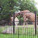 Жирафы в Калининградском зоопарке