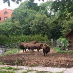 Зубры в Калининградском зоопарке