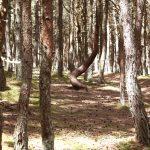 Танцующий лес на Курской косе